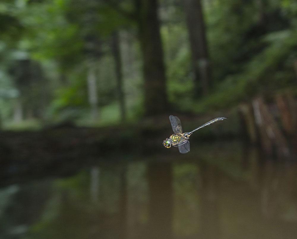 タカネトンボ 産卵確認 & 縄張り飛翔撮影_f0324026_02062513.jpg