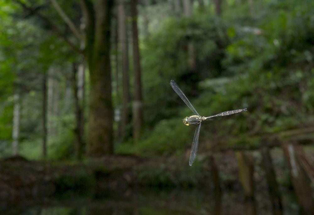 タカネトンボ 産卵確認 & 縄張り飛翔撮影_f0324026_02073097.jpg