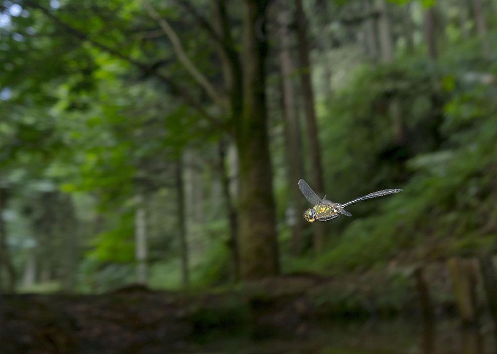 タカネトンボ 産卵確認 & 縄張り飛翔撮影_f0324026_02160040.jpg