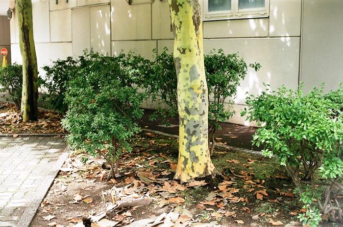 プラタナスの樹皮剥離と義妹再手術の成功_c0182775_15165574.jpg