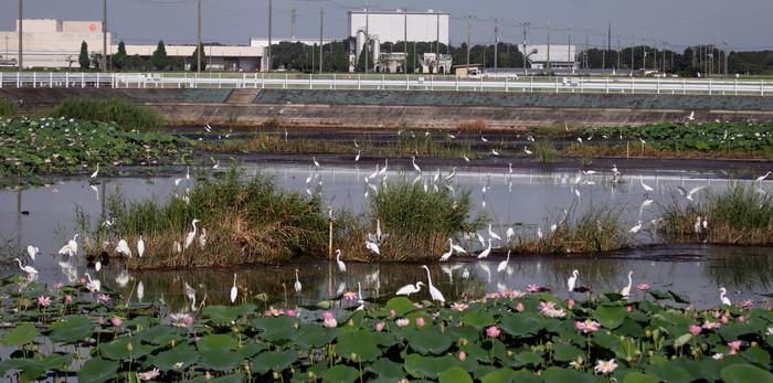 蓮池のヨシゴイ幼鳥が飛んだ_f0239515_929030.jpg