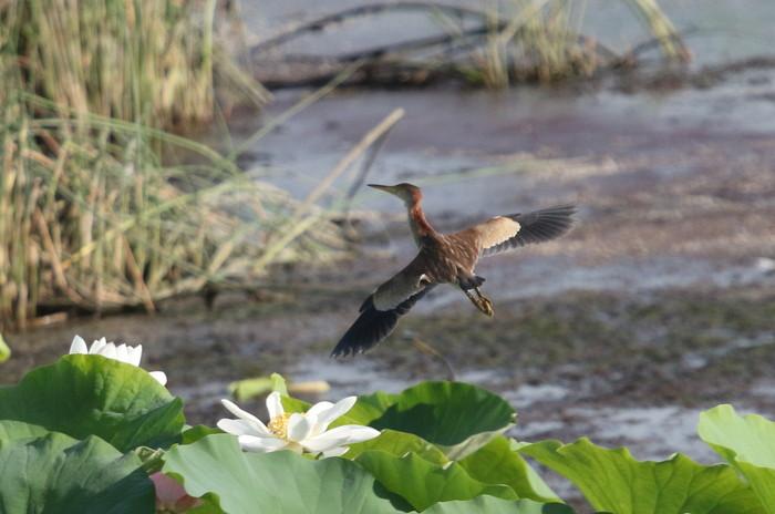 蓮池のヨシゴイ幼鳥が飛んだ_f0239515_9295444.jpg