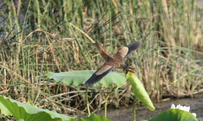 蓮池のヨシゴイ幼鳥が飛んだ_f0239515_9302252.jpg