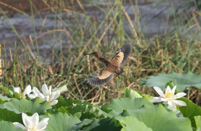 蓮池のヨシゴイ幼鳥が飛んだ_f0239515_9305281.jpg
