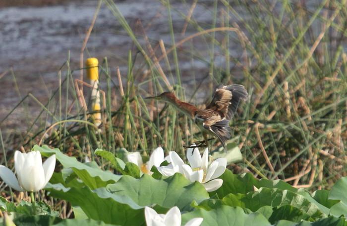 蓮池のヨシゴイ幼鳥が飛んだ_f0239515_9314377.jpg