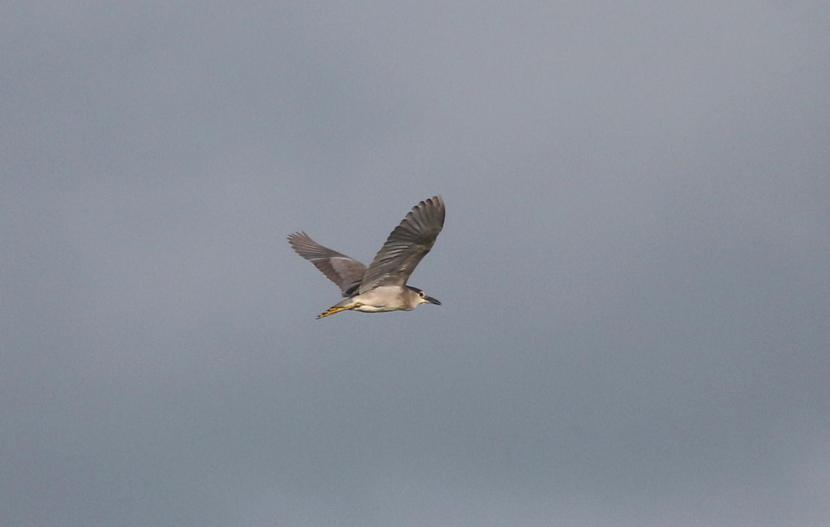 蓮池のヨシゴイ幼鳥が飛んだ_f0239515_9384950.jpg