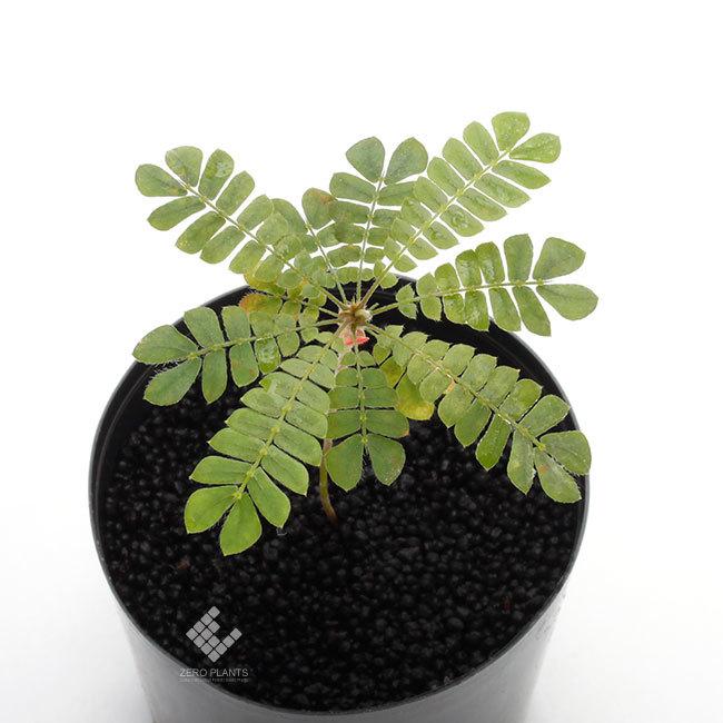 ビオフィツム~っていう動く!? 植物が可愛らしい!!_d0376039_22414752.jpg