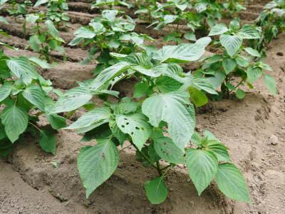 無農薬・無化学肥料栽培の『菊池水源産エゴマ』の台風一過の様子!今年もしっかり手をかけ育てます!_a0254656_17401818.jpg
