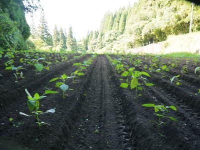 無農薬・無化学肥料栽培の『菊池水源産エゴマ』の台風一過の様子!今年もしっかり手をかけ育てます!_a0254656_17445513.jpg