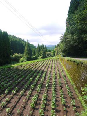 無農薬・無化学肥料栽培の『菊池水源産エゴマ』の台風一過の様子!今年もしっかり手をかけ育てます!_a0254656_17490294.jpg