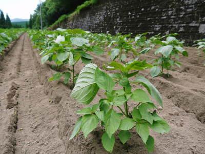 無農薬・無化学肥料栽培の『菊池水源産エゴマ』の台風一過の様子!今年もしっかり手をかけ育てます!_a0254656_18165521.jpg