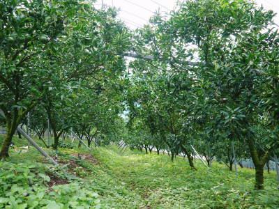 究極の柑橘「せとか」 匠の摘果作業で今年も元気な夏芽が芽吹いています!_a0254656_18525606.jpg