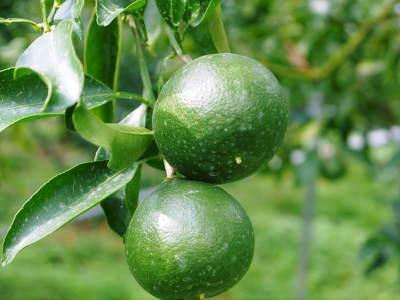 究極の柑橘「せとか」 匠の摘果作業で今年も元気な夏芽が芽吹いています!_a0254656_19040835.jpg