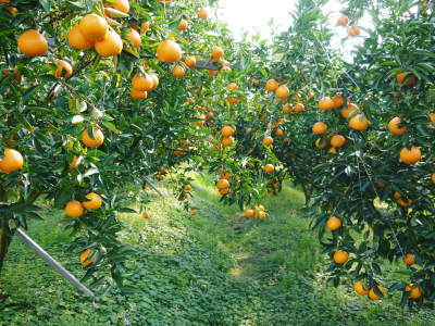 究極の柑橘「せとか」 匠の摘果作業で今年も元気な夏芽が芽吹いています!_a0254656_19072271.jpg
