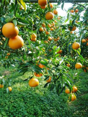 究極の柑橘「せとか」 匠の摘果作業で今年も元気な夏芽が芽吹いています!_a0254656_19080817.jpg