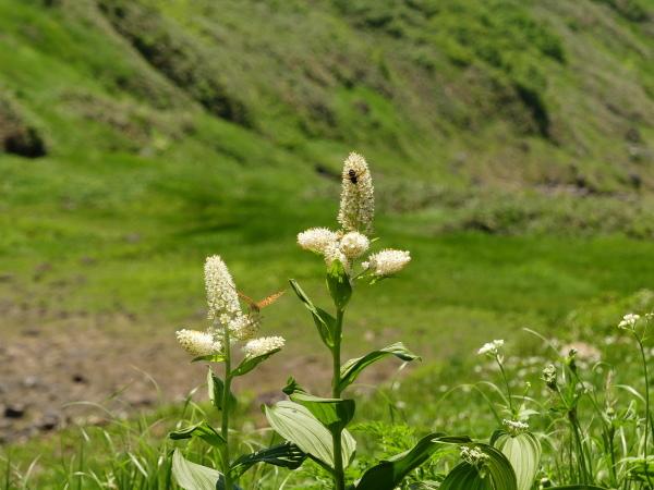 夏の月山 花の山_a0351368_15350151.jpg