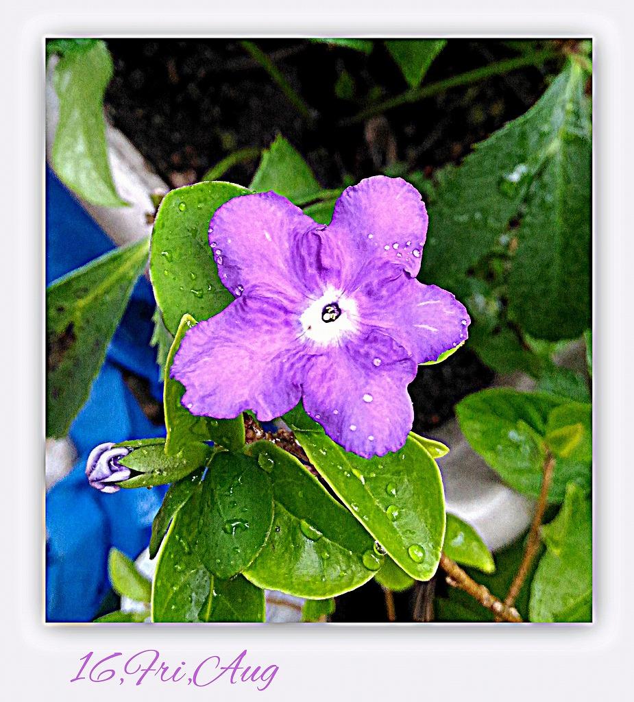 ニオイバンマツリが咲いて_d0147812_20374257.jpg