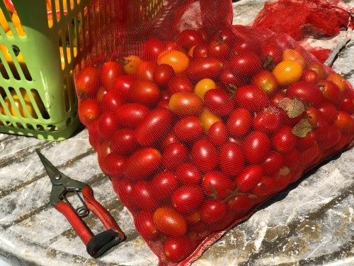 お盆過ぎても ジョイア畑のトマト達 実が生り続けます_c0222448_11575092.jpg