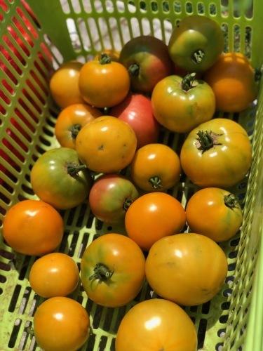 お盆過ぎても ジョイア畑のトマト達 実が生り続けます_c0222448_11584614.jpg