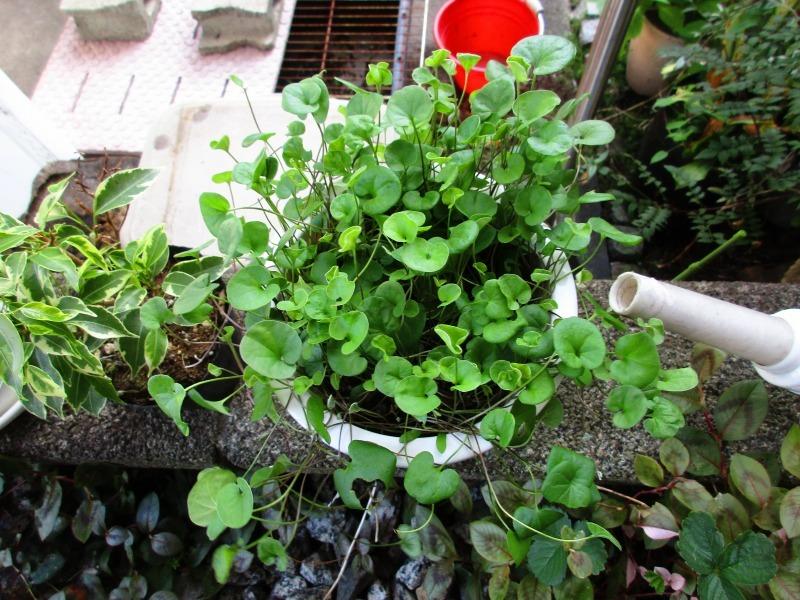 植物「ディコンドラを植えて112日経過」_b0362459_22530456.jpg