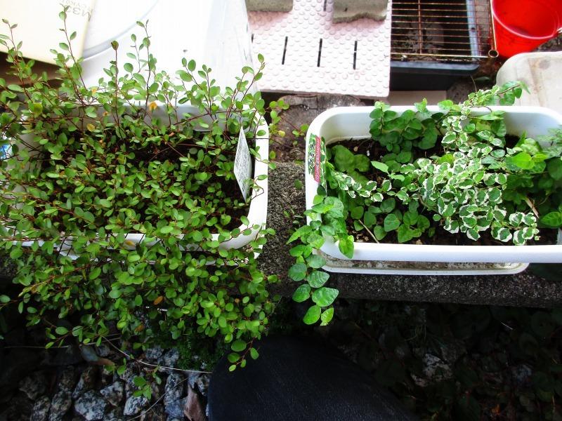 植物「ディコンドラを植えて112日経過」_b0362459_23011123.jpg
