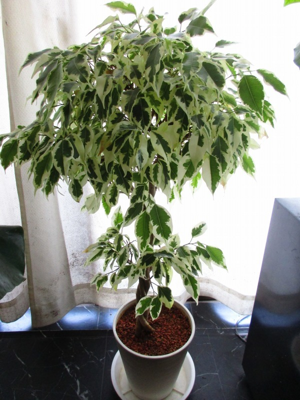植物「ディコンドラを植えて112日経過」_b0362459_23044325.jpg
