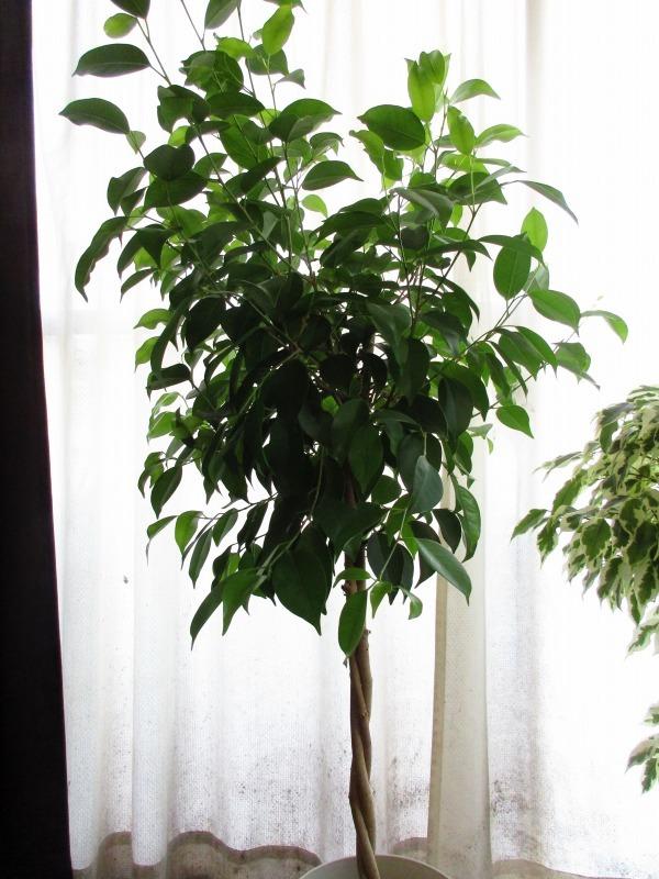 植物「ディコンドラを植えて112日経過」_b0362459_23083918.jpg