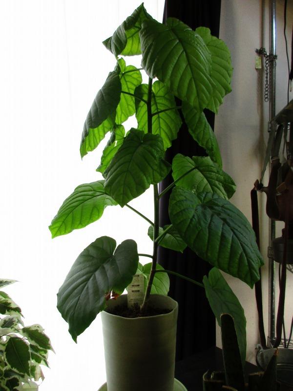 植物「ディコンドラを植えて112日経過」_b0362459_23105064.jpg