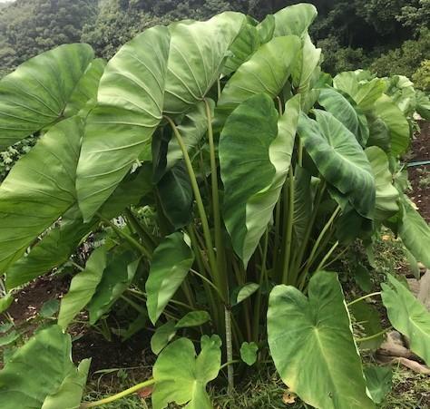 断続歴な雨でサトイモがイキイキ8・16_c0014967_18263546.jpg