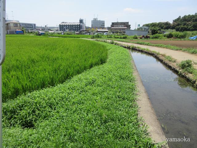 稲の花。_f0071480_21420468.jpg