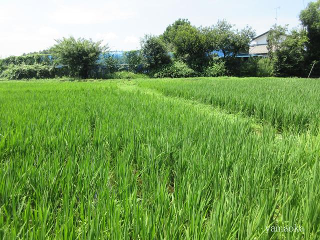 稲の花。_f0071480_21421060.jpg