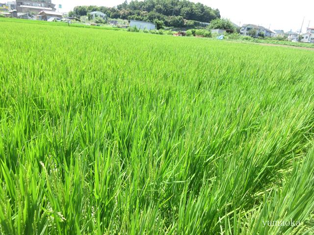 稲の花。_f0071480_21421493.jpg