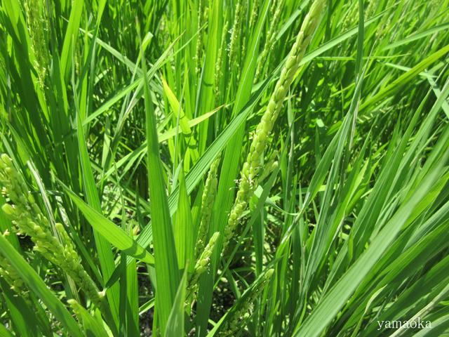 稲の花。_f0071480_21421730.jpg