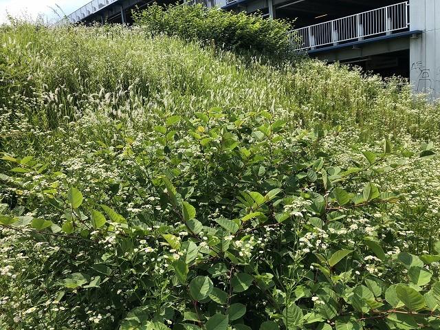 この夏の、駅へ向かう途中の草地_c0124100_21490078.jpg