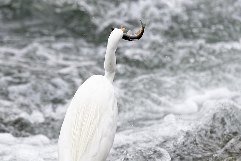 鴨川のサギ_f0032011_16442184.jpg
