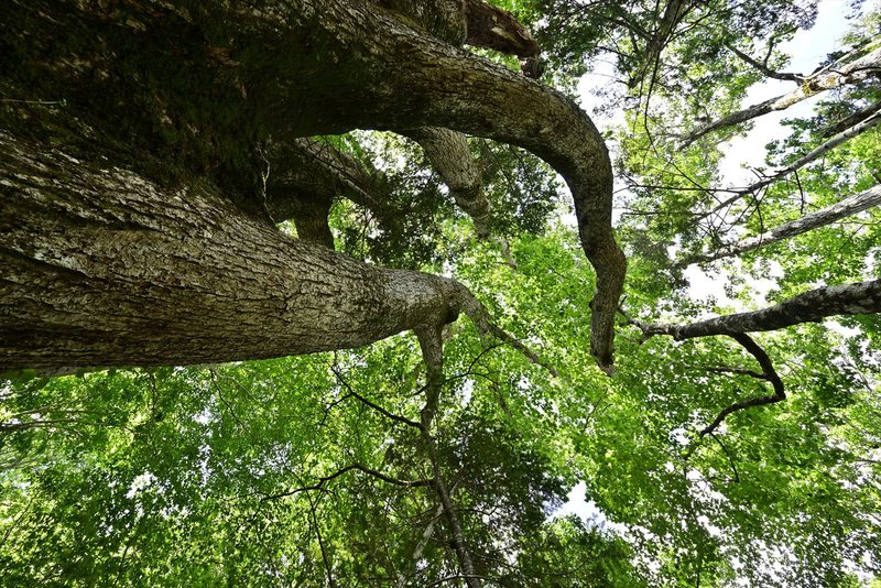 オコタン埼探検ツアー 推定樹齢1200年幹周6.9mのミズナラに会いに。 2019.8.18_a0145819_20232170.jpg