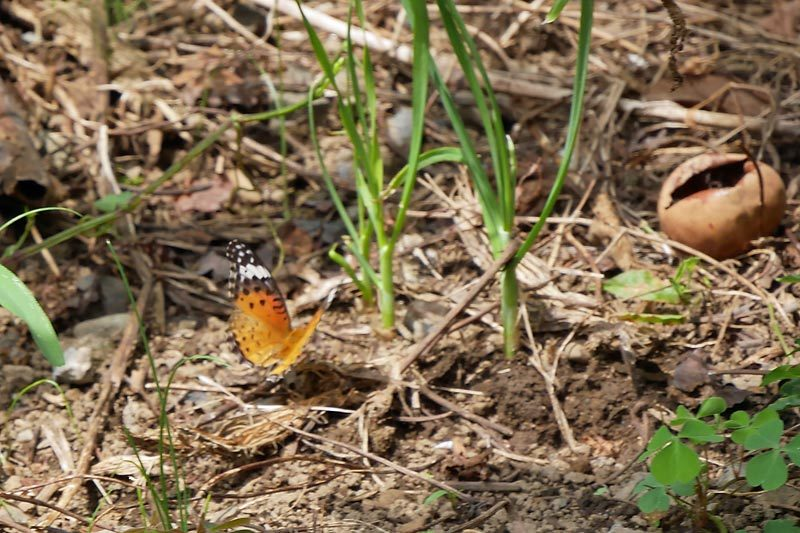 庭のチョウ~初めてのお客さんが来訪_c0043361_22461371.jpg
