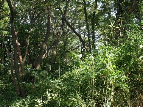 山桜の植樹スペース確保に目途8・17六国見山手入れ_c0014967_21163174.jpg