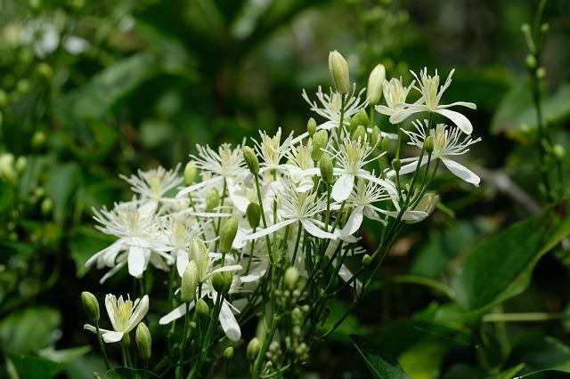 ■ 夏の草花 3種(4)   19.8.18   (カラスウリ、センニンソウ、オオカモメヅル)_e0339873_20301320.jpg