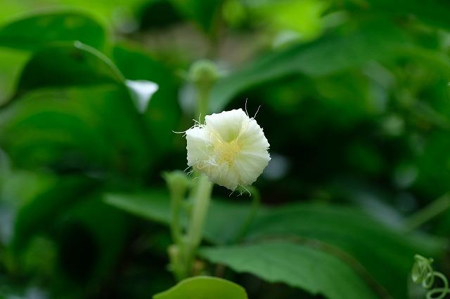 ■ 夏の草花 3種(4)   19.8.18   (カラスウリ、センニンソウ、オオカモメヅル)_e0339873_20301356.jpg