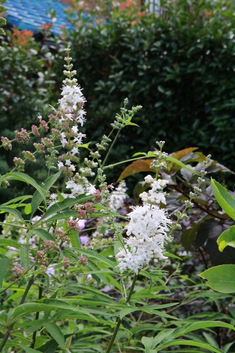 白花のニンジンボク_a0107574_16081799.jpg