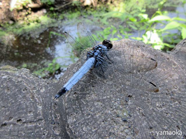 蜻蛉に出合い、尾てい骨を意識し、一冊の文庫本に驚く。_f0071480_16090839.jpg