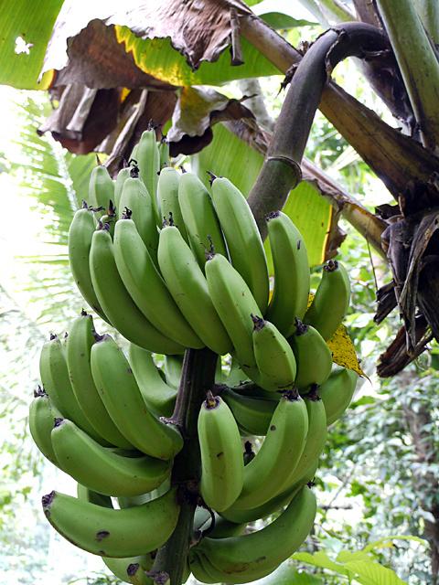 一番人気のオイシサです。季節のラッシー「バナナラッシー」_e0145685_18250846.jpg