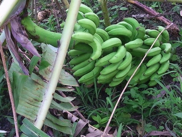 バナナの木倒れました_e0158687_09491792.jpg