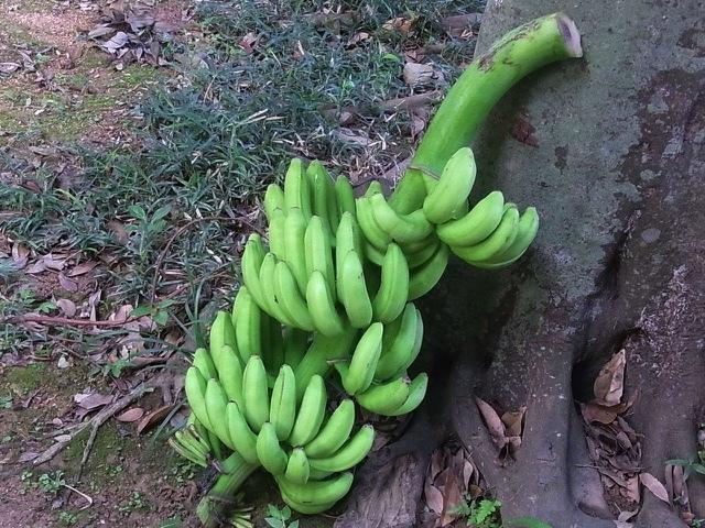 バナナの木倒れました_e0158687_09493199.jpg