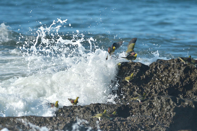 大磯:アオバトの波かぶり ④_e0362696_15450927.jpg