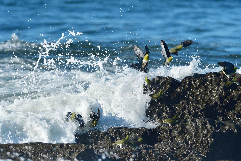 大磯:アオバトの波かぶり ④_e0362696_15451498.jpg