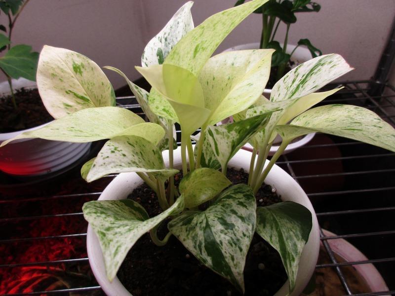 植物「ドデカミン!!」_b0362459_19360505.jpg