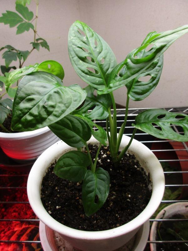 植物「ドデカミン!!」_b0362459_19394798.jpg