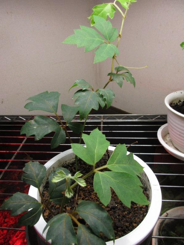 植物「ドデカミン!!」_b0362459_19414864.jpg